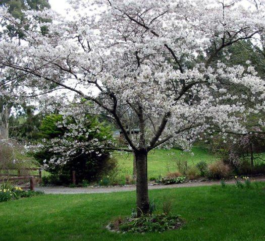 plum-tree-blossom