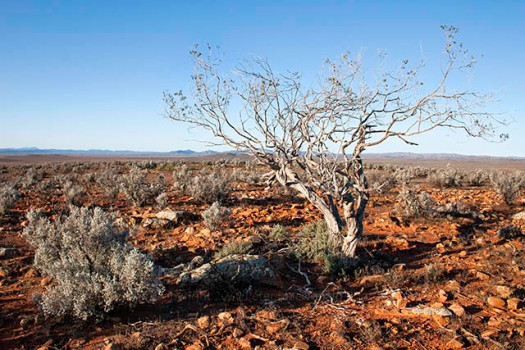 Drought-bush